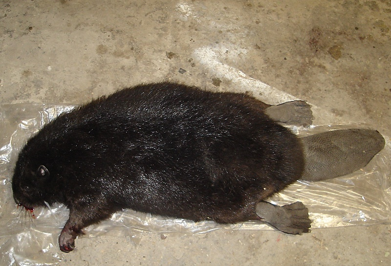 0f03aead1 Druhého bobra zrazilo auto na severnej D 1 pred tunelom Bôrik (v smere do  Mengusoviec) dňa 16.4.2013. Druhý bobor vážil okolo 15 kilogramov .